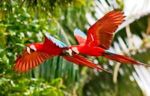 amazzonia pappagallo parrot cctm caracas