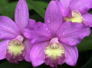 cattleya orchid amazzonia cctm caracas orchidee
