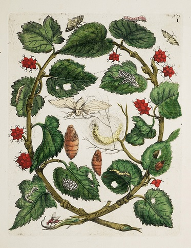 Metamorphosis insectorum Surinamensium maria sybilla merian