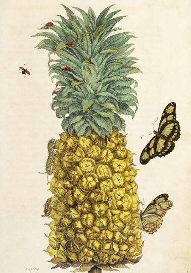 maria sibylla merian 1705Metamorphosis insectorum Surinamensium suriname Netherlands cctm caracas