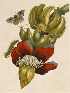 maria sibylla merian suriname Metamorphosis insectorum Surinamensium cctm arte amore cultura bellezza olanda latino america italia