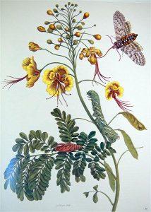 maria sibylla merian Metamorphosis insectorum Surinamensium cctm botanica a noi piace leggere
