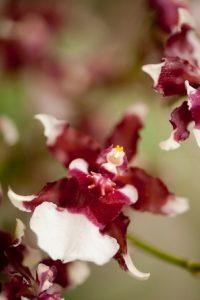 Dancing lady orchid amazzonia cctm a noi piace leggere