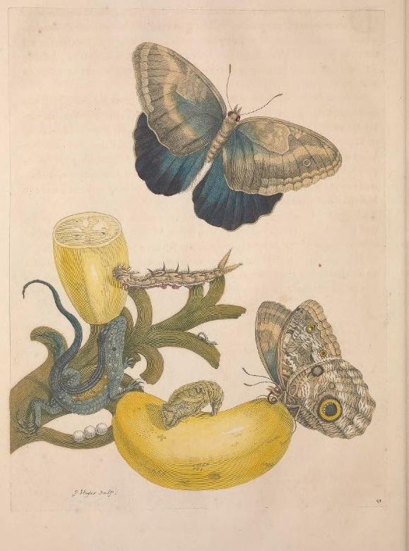 Metamorphosis insectorum Surinamensium Maria Sybilla Merian donne cctm a noi piace leggere